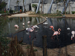 Flamingos in Parc Zoologique de Paris