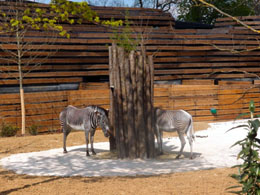 Zebras in Parc Zoologique de Paris